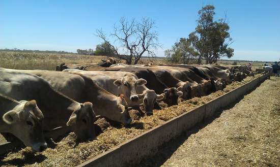 Heat Tolerant--at feed bunk on mid-90s Summer Day, Australia