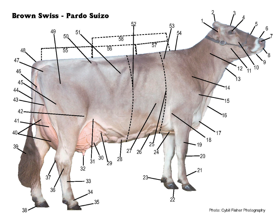 brown swiss association > breed > brown swiss breed ... nose diagram mucus cows nose diagram #8